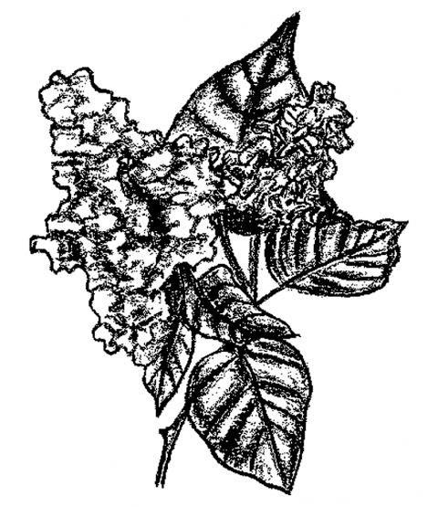 Lilacs Wood Mount Stamp M4-10132K